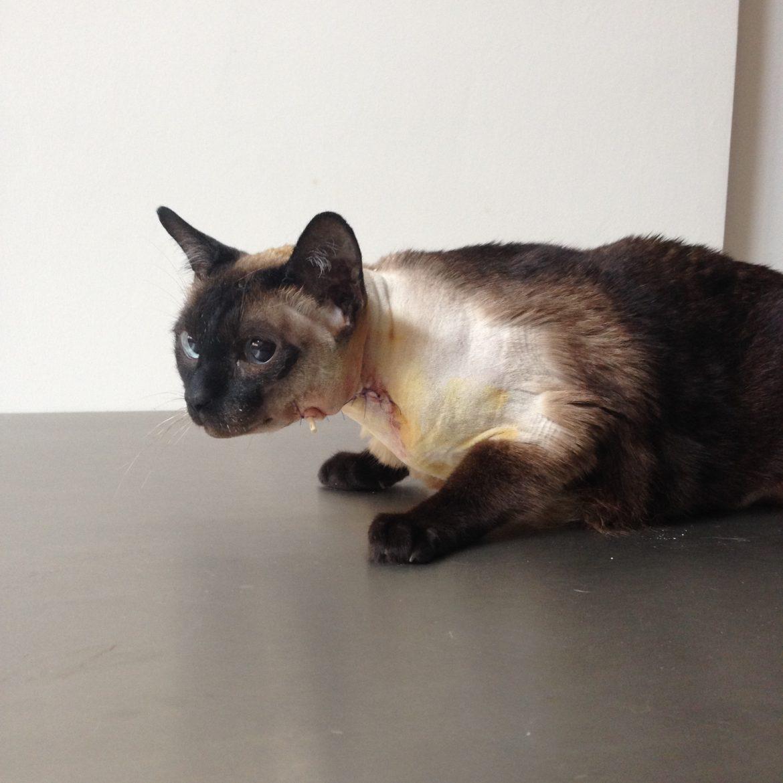 Хорнеров синдром вследствие емпием и грануломен полип на средното ухо при сиамска котка